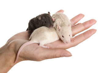 Three baby rats on a palm