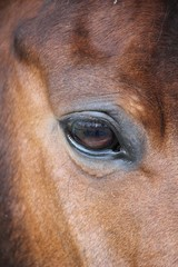 Horse eye close-up chestnut background with copy space  stock, photo, photograph, picture, image