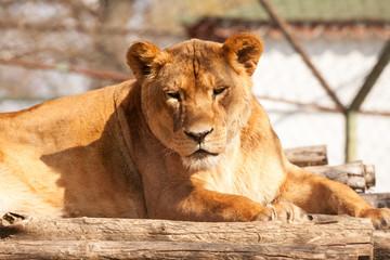 Female lion resting on the sun