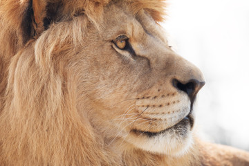 Fototapete - Beautiful male lion wisely looking into distance