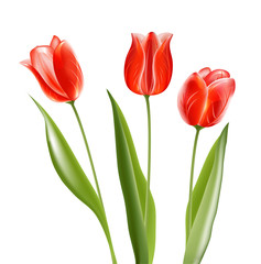 Collection of red glossy tulips. Vector illustration/EPS 10