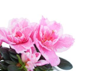 Blossoming pink azalea on white background