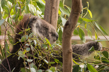 koala bear eating eucalyptus leaves