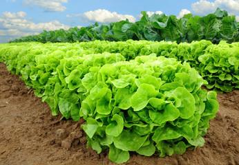 Salatpflanzen vor der Ernte Fotoväggar