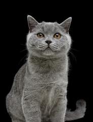 kitten (breed Scottish Straight) on black background. vertical p