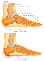 Bones of the Foot and Ankle
