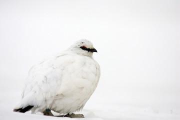 Rock Ptarmigan (Lagopus muta) winter plumage in Japan
