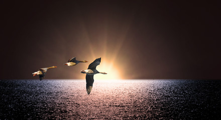 Three geese over sea at sunset