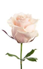 Rosebud cream. isolated