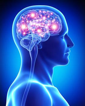 Anatomy of male active brain