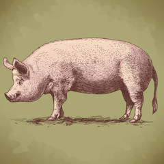 vector illustration of hand drawn big hog
