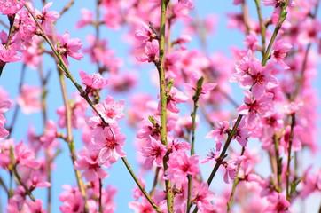 Rosa Pfirsichblüten quer