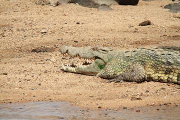 coccodrillo rettile predatore al sole savana sudafrica
