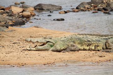coccodrillo rettile predatore  savana sudafrica