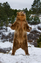 Wall Mural - Grizzly Bear