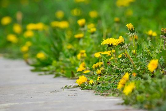 dandelion on green grass blur background