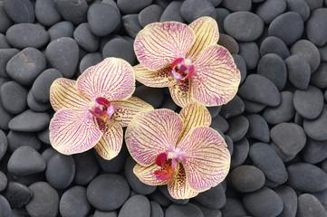 Set of three beautiful orchid on pebbles