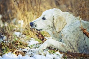 golden retriever dog puppy