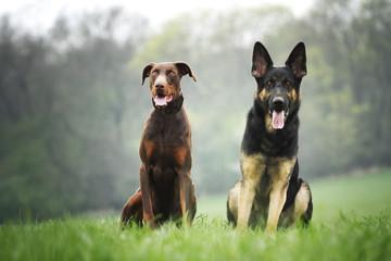 german shepherd and doberman pinscher in nature