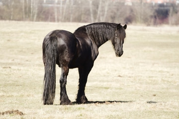 friesian horse stallion