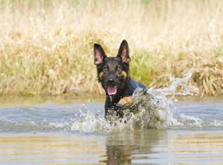 german shepherd puppy swims