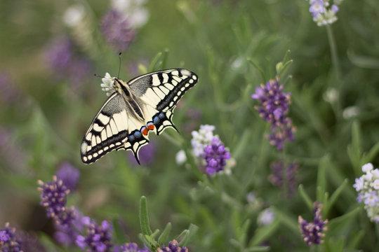 Motyl - Paź Królowej