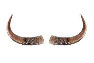 Buffalo horns on white.