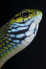 Fototapete - Dagger-tooth tree snake / Rhamnophis aethiopissa