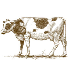 vector illustration of engraving cow