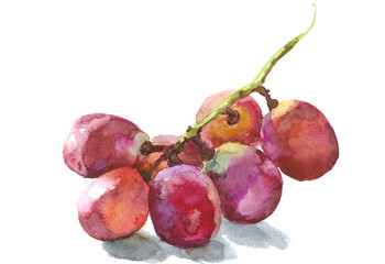 grape vine, watercolor sketch