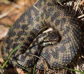 Coiled Adder Snake