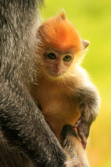 Young baby of Silvered leaf monkey, Sepilok, Borneo, Malaysia