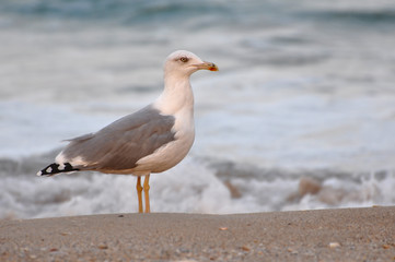 Seagull, larus argentus