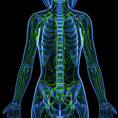 3d Anatomy of female lymphatic system