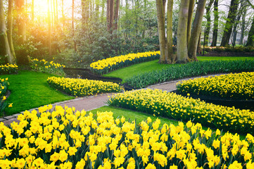 Spring landscape with yellow daffodils. Keukenhof garden