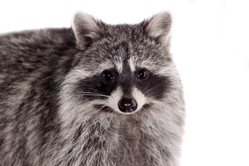 Raccoon (3 years old) isolated on the white background