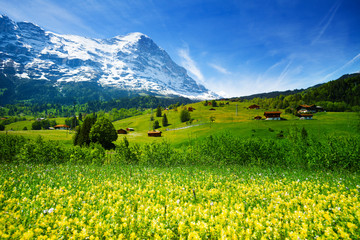 Wall Mural - Yellow flowers field, beautiful Swiss landscape