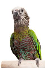 Hawk-headed Parrot (Deroptyus accipitrinus) isolated on white