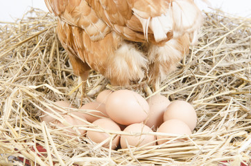 Chicken and their eggs on a white background