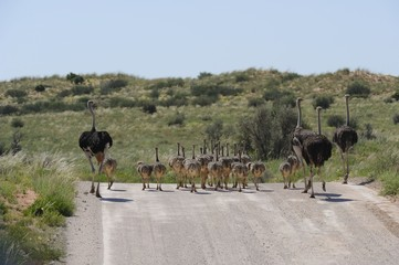 Ostrich (Struthio camelus) family in Kgalagadi transfrontier Pk.