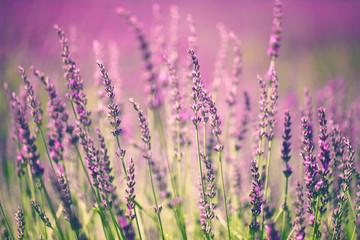 Keuken foto achterwand Lavendel Lavender flower