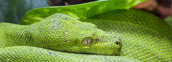 Panoramic green python
