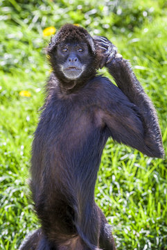 ateles geoffroyi vellerosus spider monkey