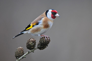 Goldfinch Wall mural