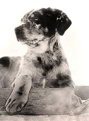 rottweiler beauceron puppy