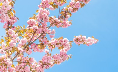spring peach tree with flowers