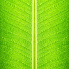 Green banana leaf texture - natural background