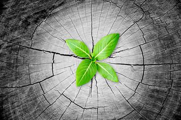 Sapling growing from stump - regeneration & development concept