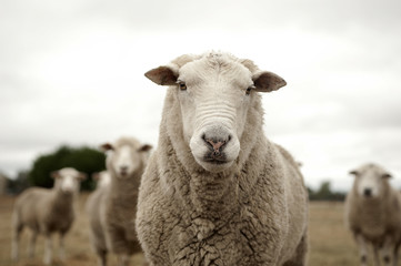 Deurstickers Schapen Sheep