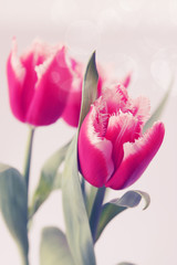 pink tulips terry